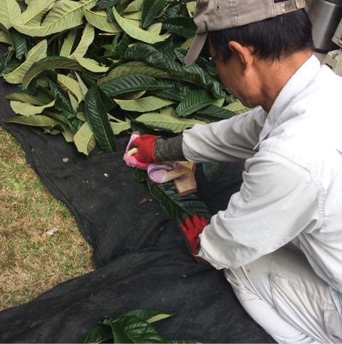 ふんどしパンツのシルクを染めるビワの葉