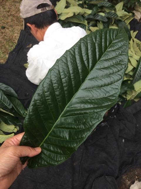 ふんどしパンツの内布染のビワの葉