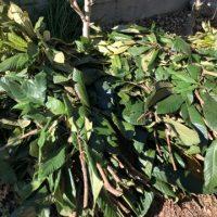 ふんどしバンツの枇杷の葉